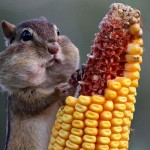 hujro-chipmunk-eats-corn
